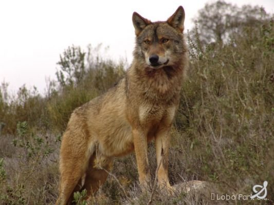 wolf pack tarot