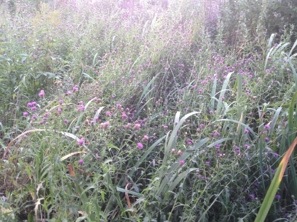 black knapweed 3